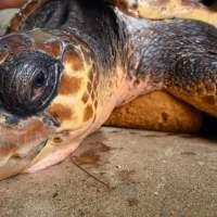 @AmericasCup #Bermuda Turtle Dilemma @bestbermuda