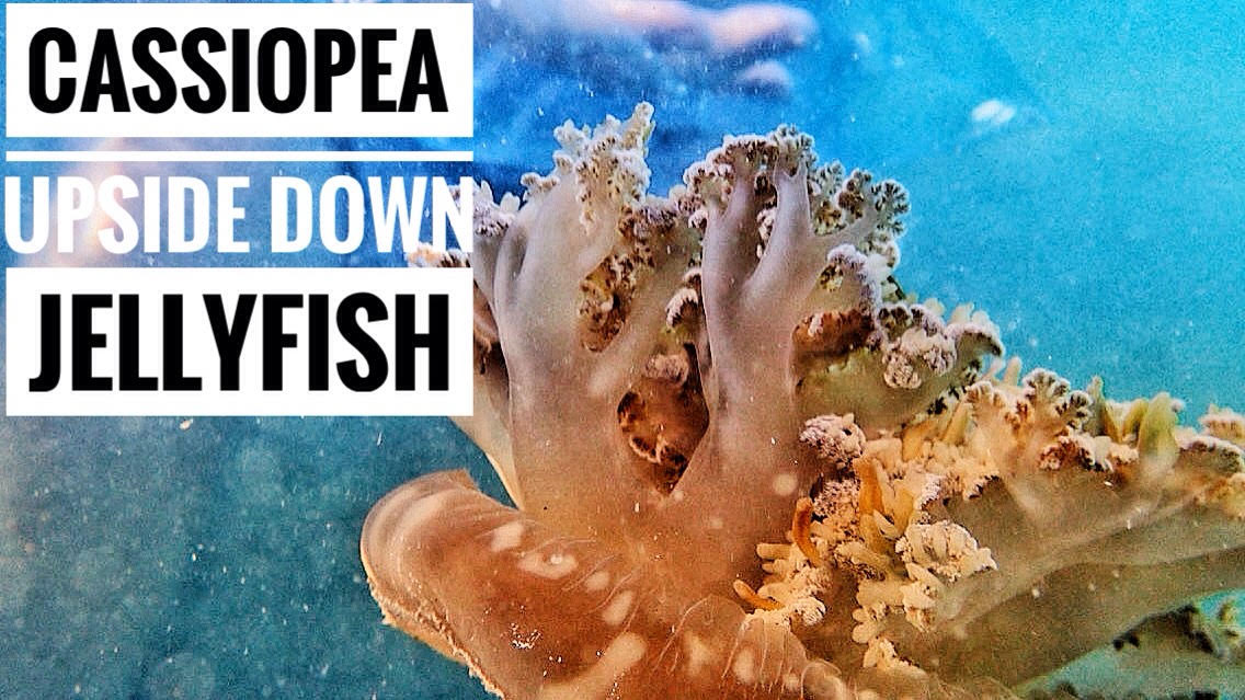 UPSIDE – DOWN JELLYFISH | CASSIOPEA